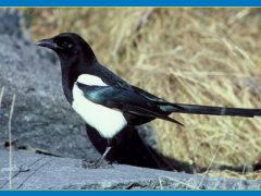 Magpies Deserve Respect