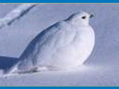 Ptarmigans Molt With Season