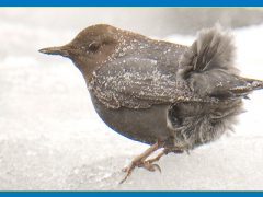 The Amazing American Dipper Swims Throughout Winter