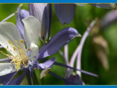 Blue Columbine speaks of Colorado