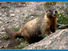 Boulders Provide Haven for Marmots and Pikas