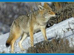 Coyote Populations Expand Alongside Humans